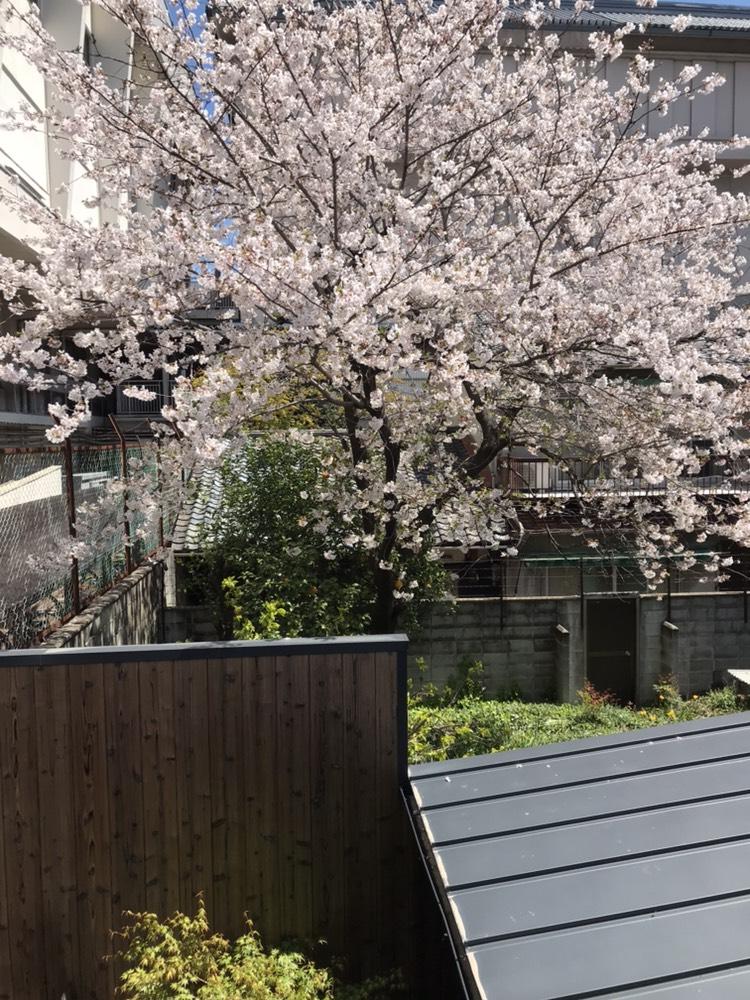 まだまだ桜の季節です!