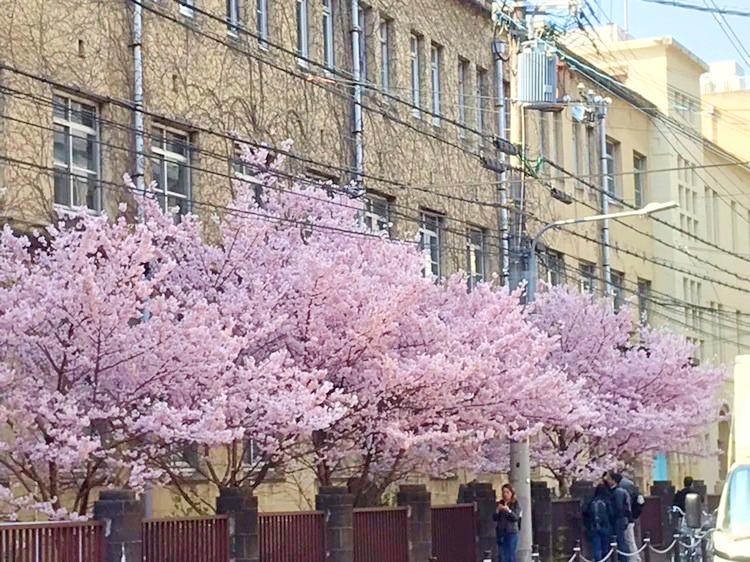 早咲きの桜の満開宣言!
