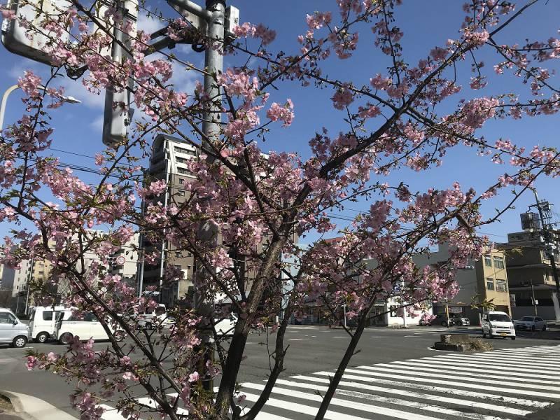 河津桜が咲き始めました…!