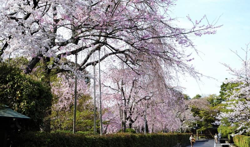 南禅寺近くにあるノムラ美術館そばの桜