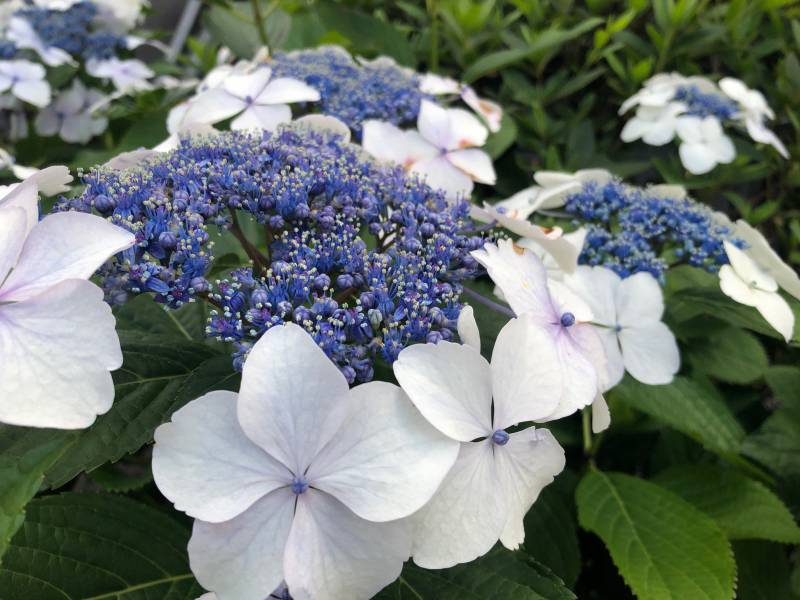【京都市一軒貸切|町屋ホテル】五条フロントに「あじさい」が咲いていますよ。