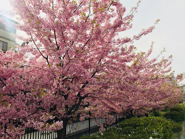 Sakura spot in Kyoto