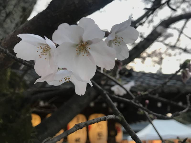 Sakura Spot in Kyoto (Part 2)