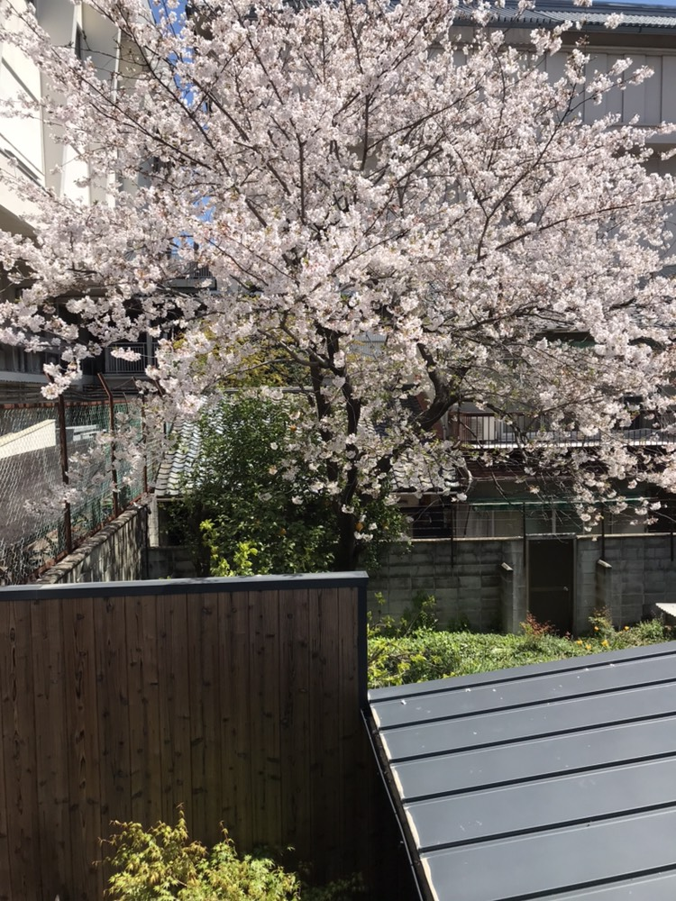 Sakura are blooming!