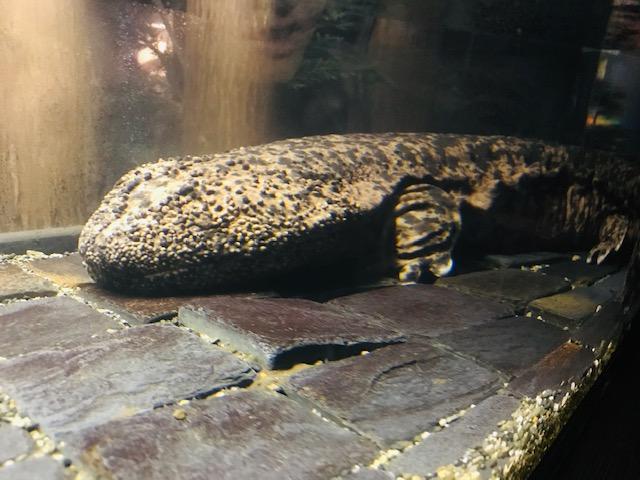 The big salamander