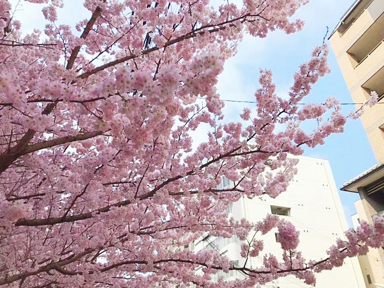 Spring Vibes #part4 SAKURA in Full Bloom
